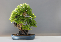 atelier bonsai avril 2019 gaillac actu